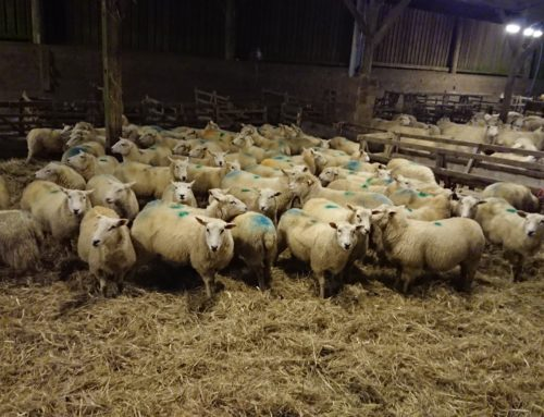 From Tups to Lambing!