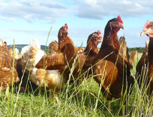 Happy Hens at Penbugle Organic Farm